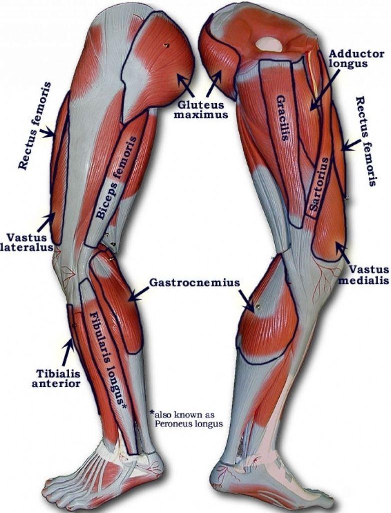human leg muscles diagram human leg muscles diagram muscle diagram female human body lovely anatomy [ 781 x 1024 Pixel ]