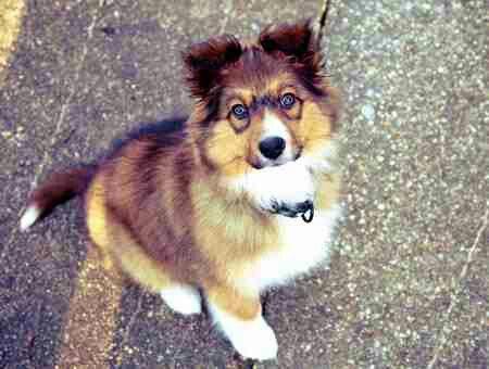 Sheltie Puppy Blue Eyes Mini Collie So Cute My Pleasant