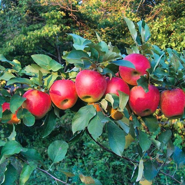 Foodies Take Note Scarlet Crush Apple Is A Brand New Variety Child Of Honeycrisp And Pink Lady That Has Been Tops In Apple Tree Fruit Trees Trees To Plant