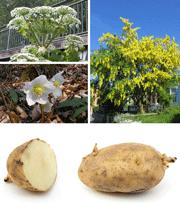 Planter, der er giftige for hunde