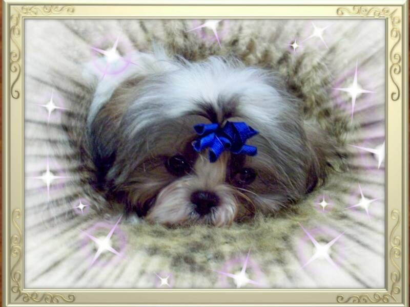 Silver, Gold & White Imperial Shih Tzu puppy from Leea