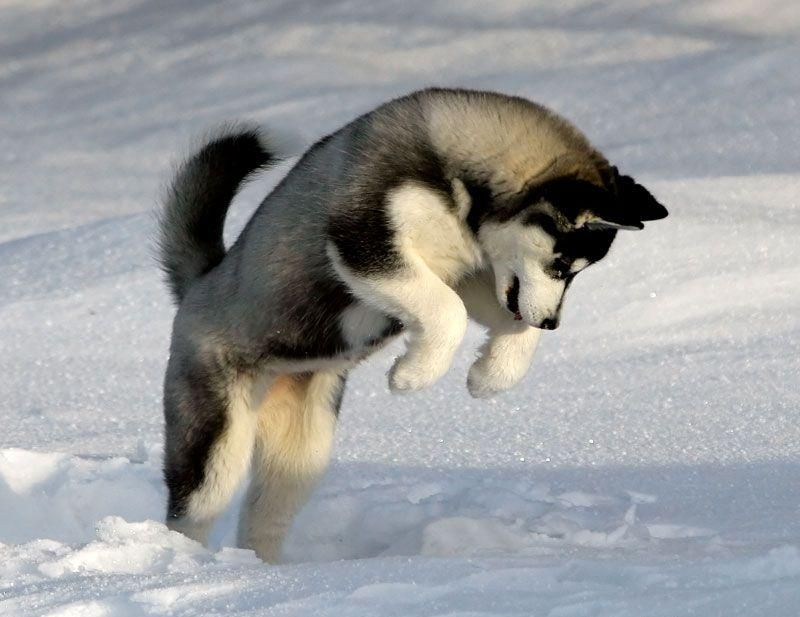 Husky siberiano cazando debajo de la nieve