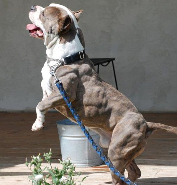 10 Most Muscular Dogs Of All Time Pitbulls Dogs Pitbull Dog