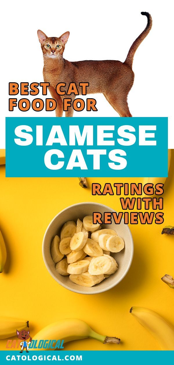 Siamese cats are so cute and they have been featured in