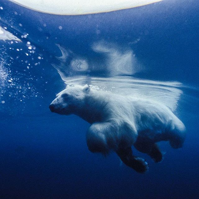 Photograph by @paulnicklen // A polar bear swims effortlessly through Lancaster Sound, Nunavut.  Did you know that polar bears actually have super powerful tendons that force their front paws to fold over as seen here?  They have to use energy to stretch their paw out straight.  This ends up acting like a spring when they are walking across the sea ice.  #followme on @paulnicklen to see this physiological adaptation in use.  #nature #naturelovers @natgeocreative @thephotosociety