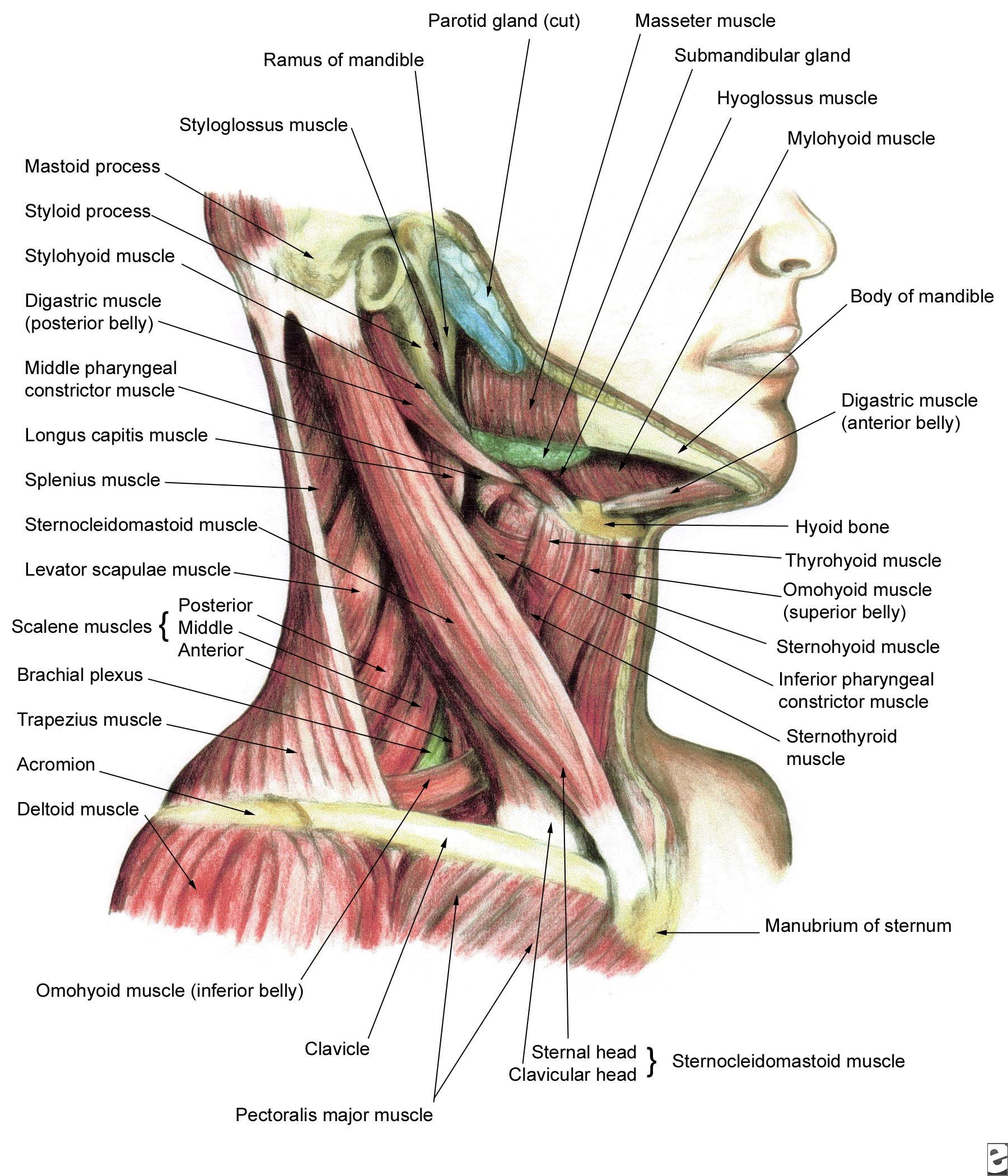 Human Anatomy and Physiology of Muscles | Pinterest | Fisioterapia ...