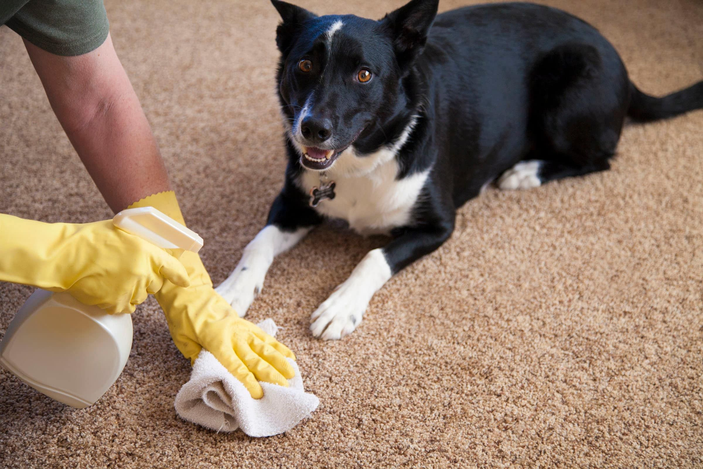 Top 10 Best Carpet Cleaner For Old Pet Urine Reviews 2019 Consumer How To Clean Carpet Carpet Cleaning Hacks