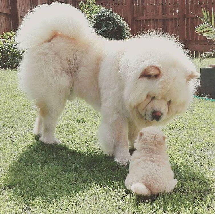 45 Dog Chau Perros Dog Chow In 2020 Cute Dogs Breeds Cute Baby
