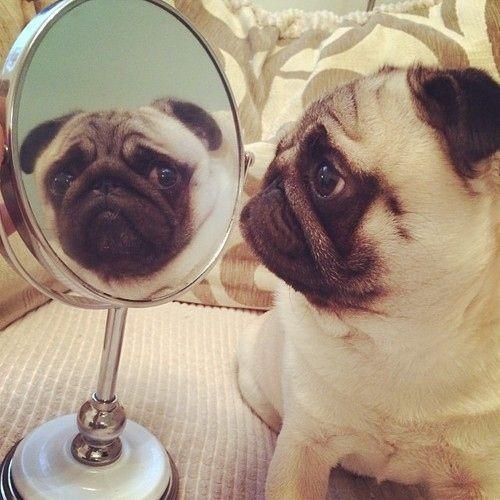 パグ犬のおもしろおしゃれ画像