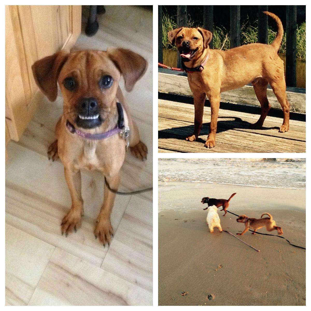 Yadi Galveston, TX Pets, Puggle, Foster care