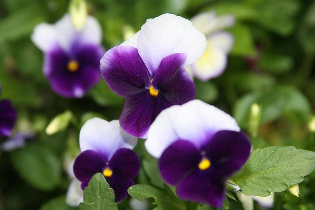 Purple and white pansy flowers yahoo image search results purple and white pansy flowers yahoo image search results mightylinksfo