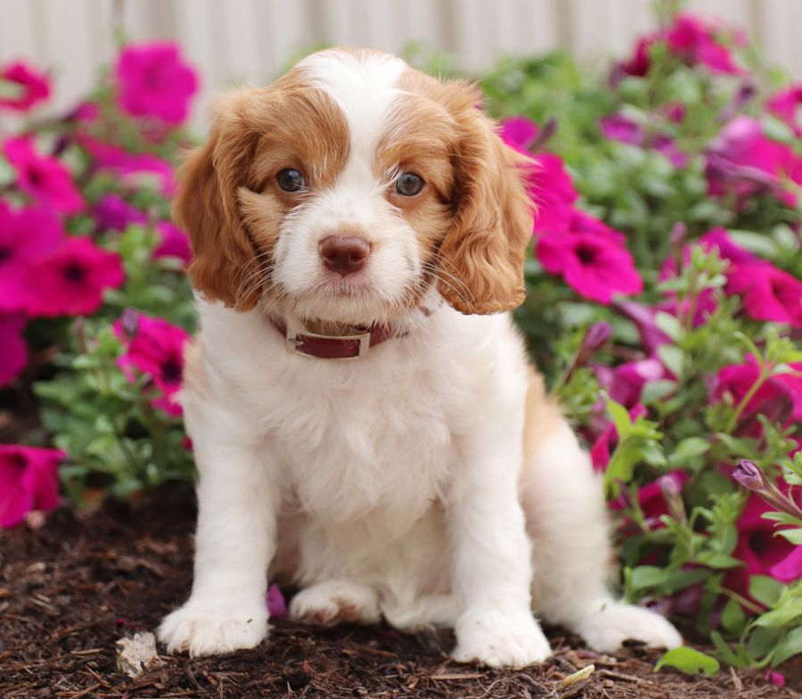 Pin By Lancaster Puppies On Puppies Cavapoo Puppies Cavapoo Cavapoo Puppies For Sale