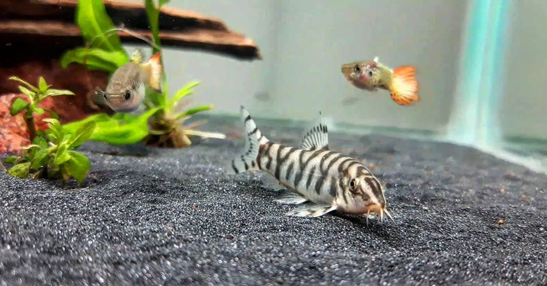 Gorgeous Yoyo Loach Fish In 2020 Cool Fish Freshwater Fish Fish