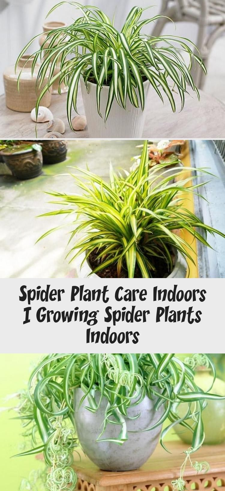 Spider Plant Care Indoors Plant Care Plants Indoor Plants 400 x 300