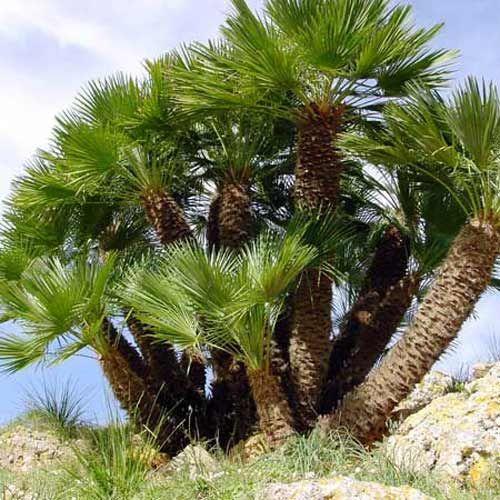 Chamaerops Humilis Palmier Eventail Palmier Nain Plants