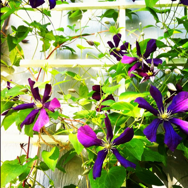 Trellis Ideas For Clematis Part - 40: Jackman Clematis Growing Up The Trellis By The The Front Door. Such A  Beautiful Way