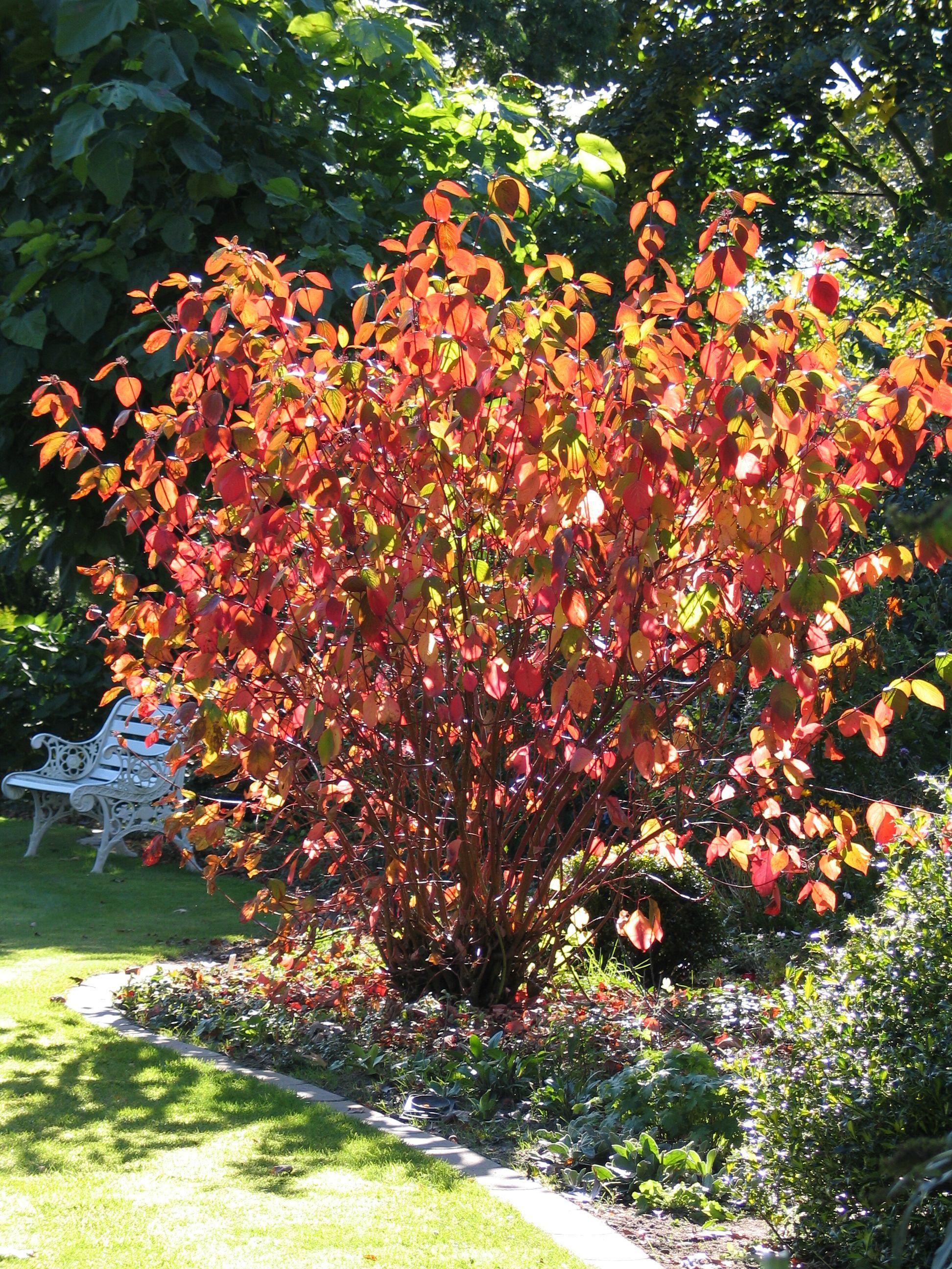 cornus alba 39 sibirica 39 winter border pinterest gardens shrub and plants. Black Bedroom Furniture Sets. Home Design Ideas