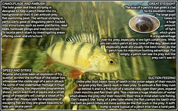 Try fishing with plastic baits to catch big perch | Perch