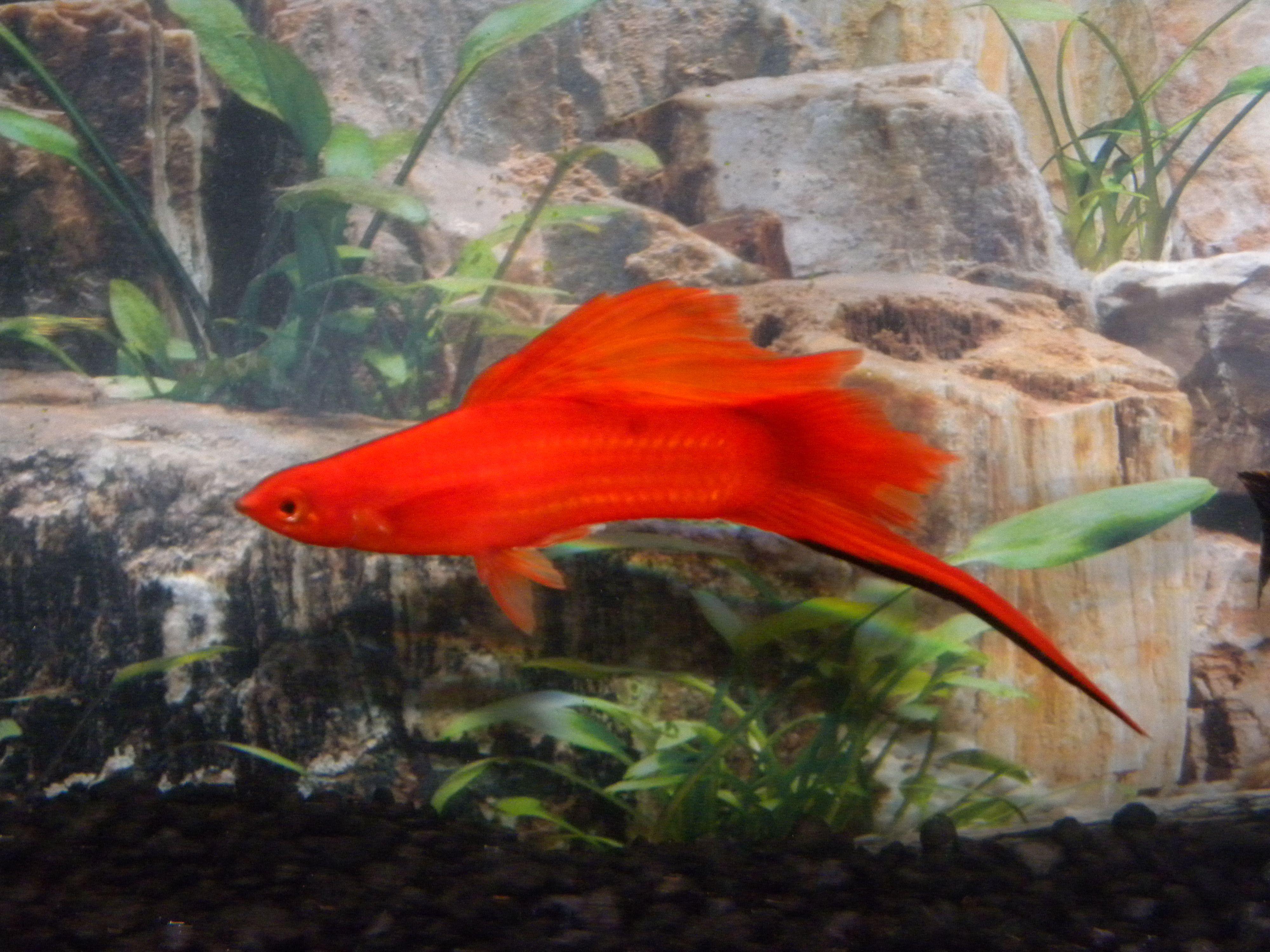 Freshwater aquarium fish with red eyes - Hifin Red Eye Swordtail Bred By Rick Graham Red Eyesswordsaquarium Fish