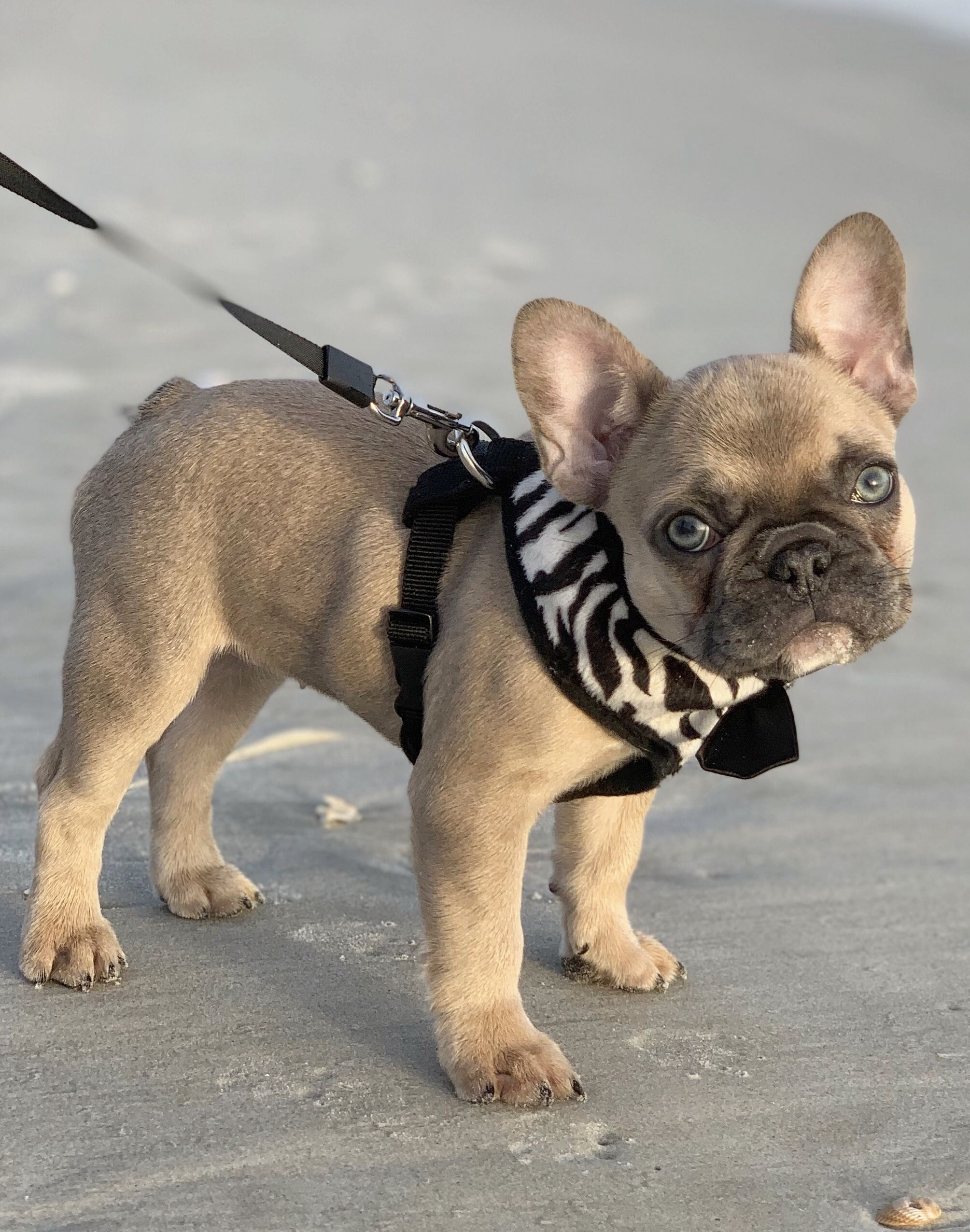 Pin by Griggs on French bulldogs in 2020 Fawn