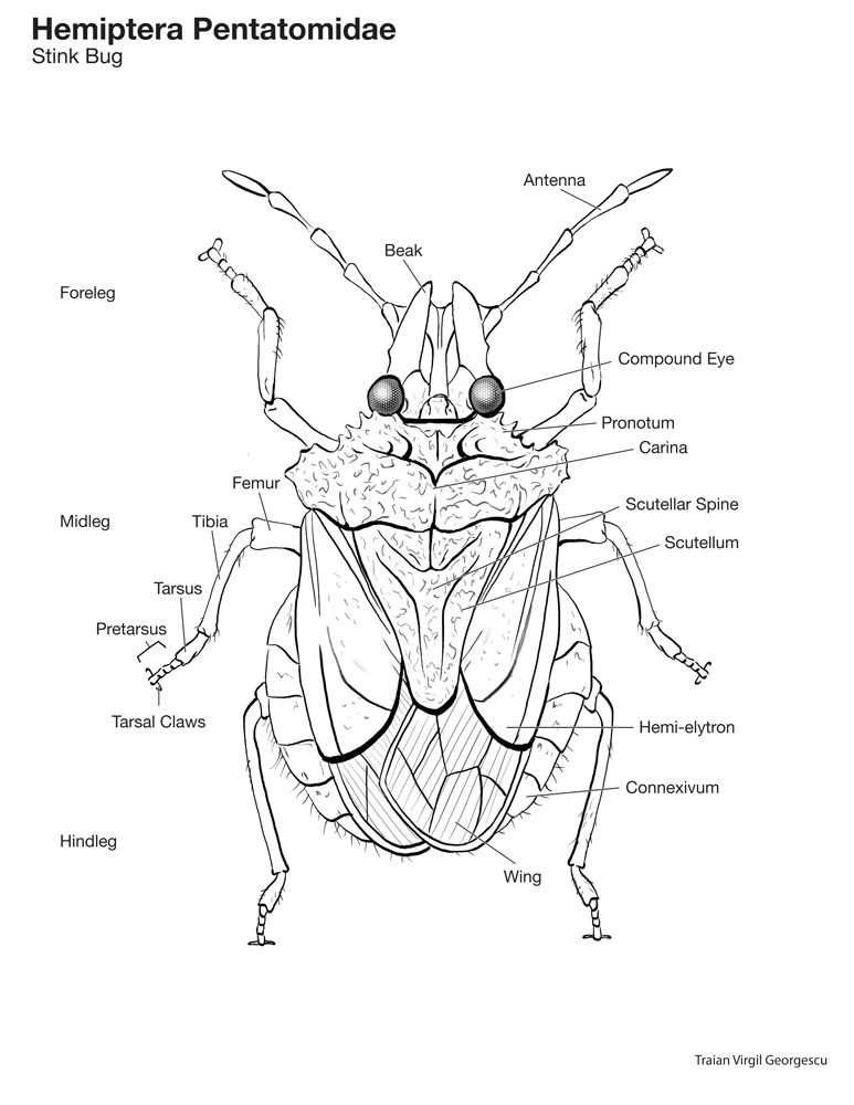 parts of the stinkbug - Google Search | educational | Pinterest ...