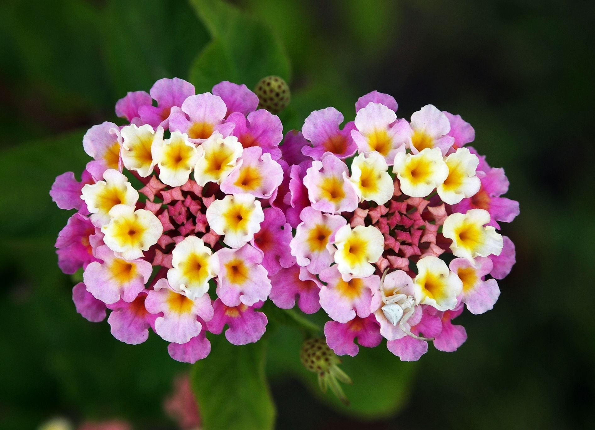 Bestflowersintheworld top 10 most beautiful flowers in the bestflowersintheworld top 10 most beautiful flowers in the world lantana izmirmasajfo