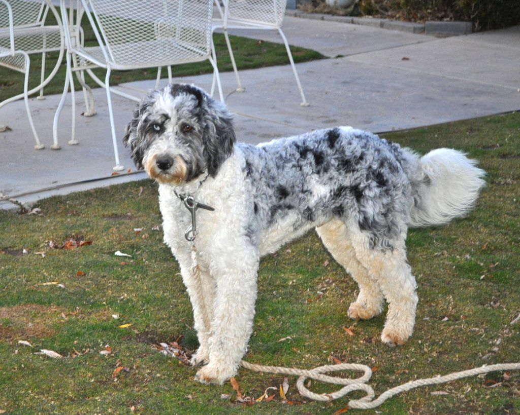 California Standard Size Aussiedoodle Puppies in 2020