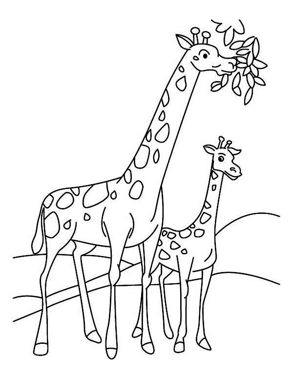 Giraffe Eating Leaf Coloring Pages Giraffe Coloring Pages