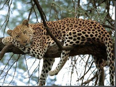 「jaguar in a tree wild」の画像検索結果