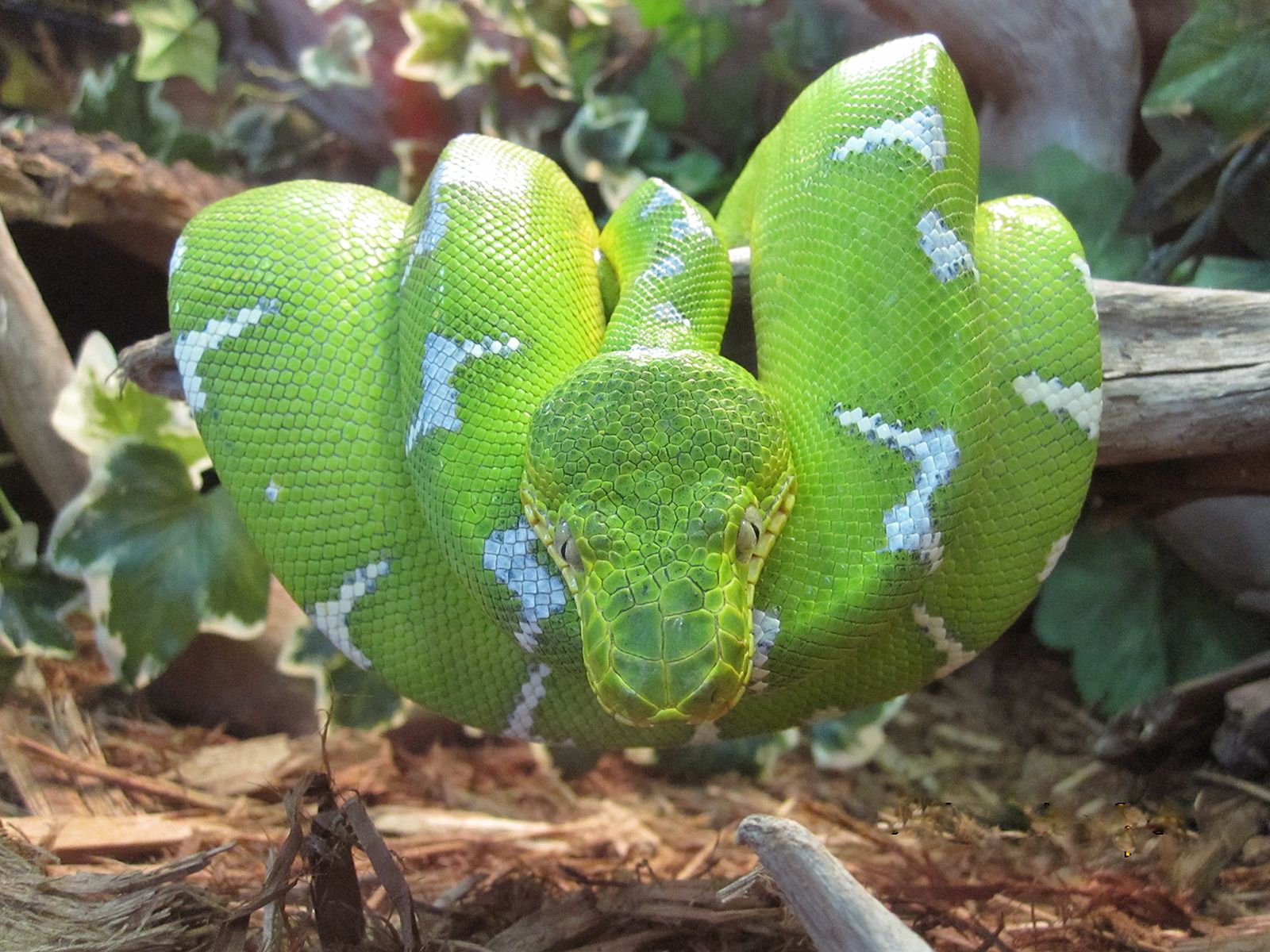 Emerald tree boas make gorgeous display snakes. Check out our ...