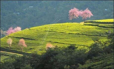 Temi tea garden.Soutk sikim.India