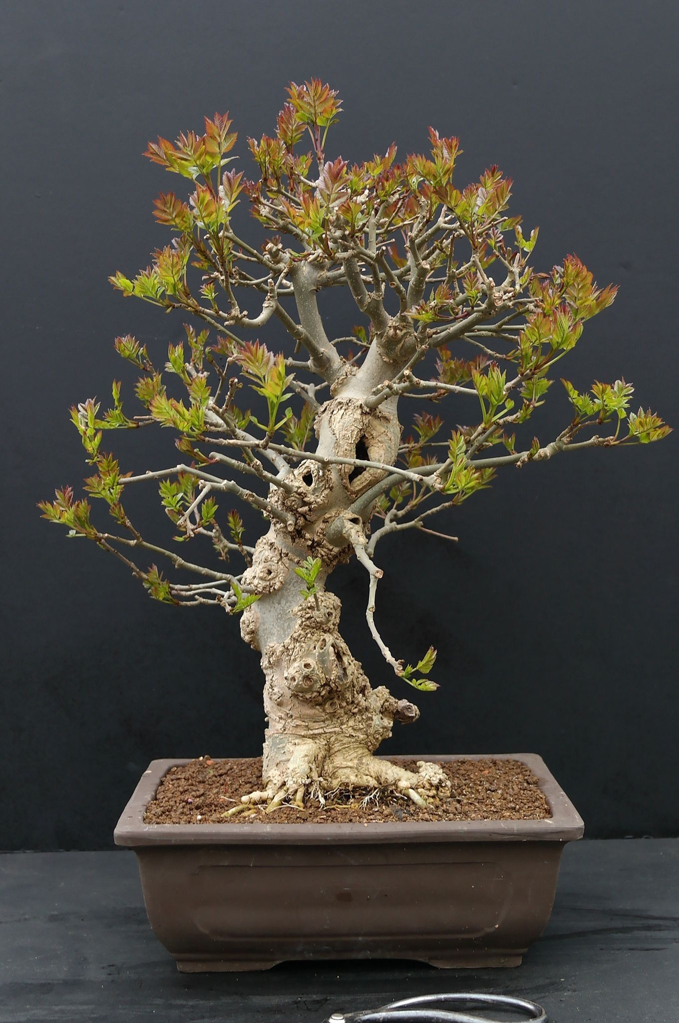 What is the best indoor bonsai tree for beginners? | Bonsai trees ...