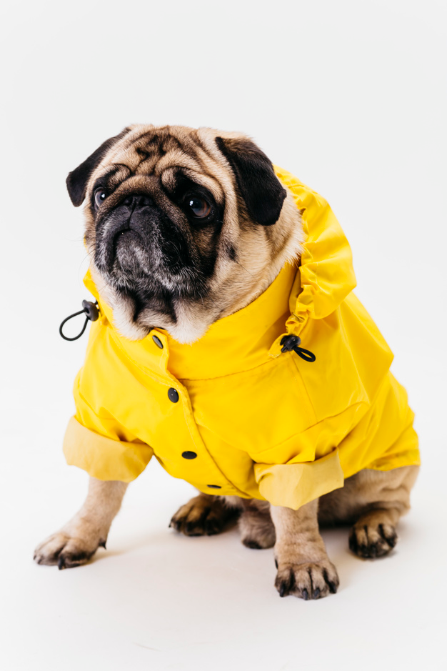 Download Cute Dog Posing In Bright Yellow Clothes for free