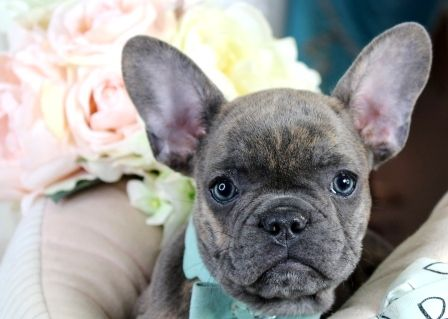 French Bulldog Puppies For Sale We Ship Very Safe Easy