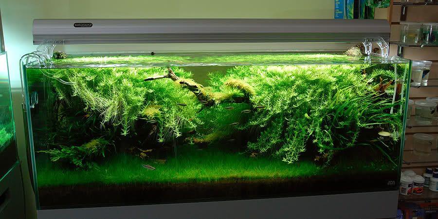 Rotala, Dwarf Hairgrass, Java Fern, Gorgeous. Beautiful!