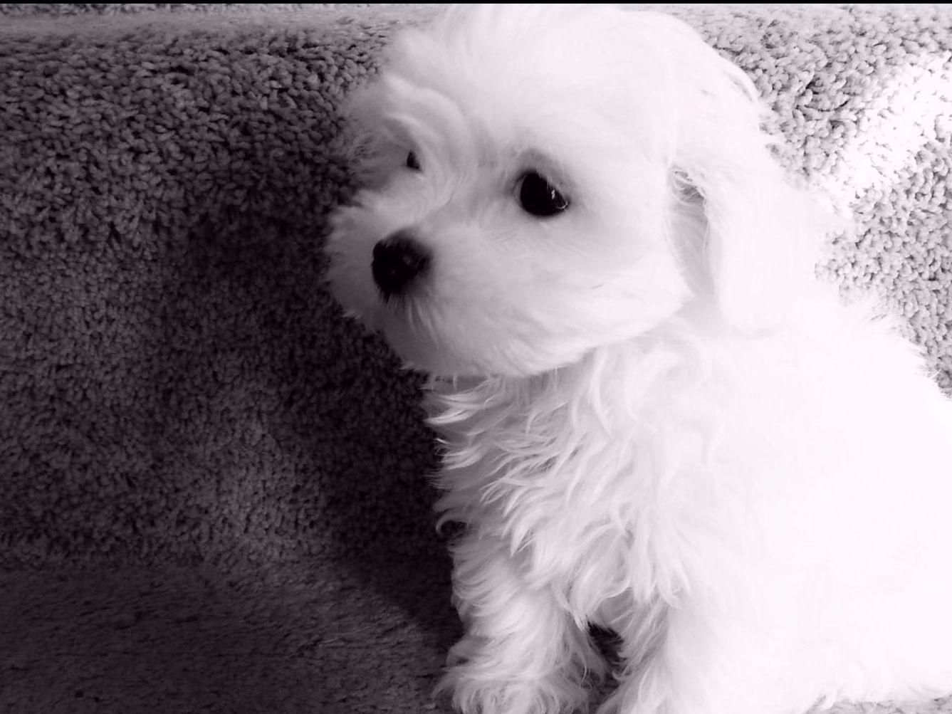 Mi Love Maltese Terri Suter Has Maltese Puppies For Sale In