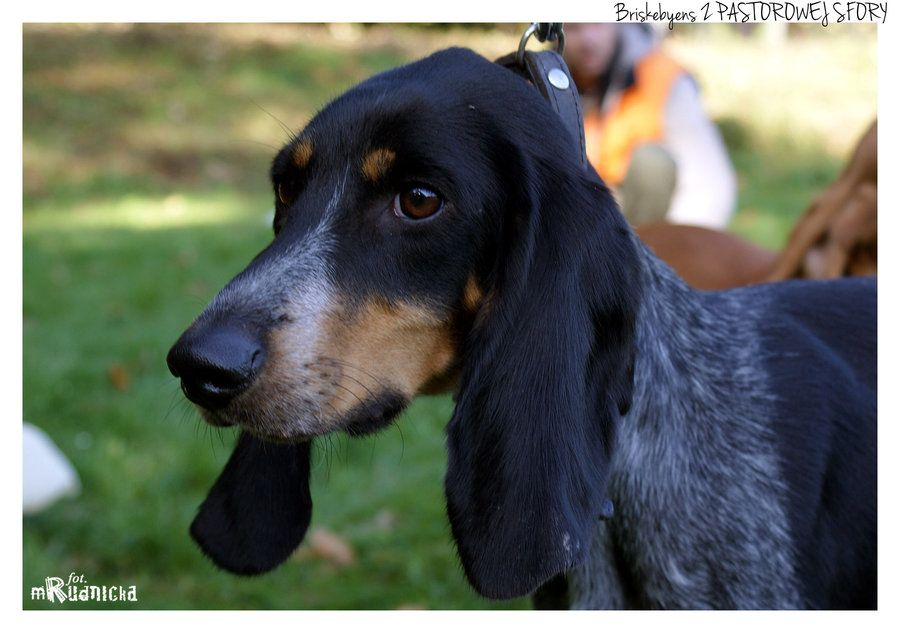 Luzerner Laufhund I By Magda Poland Such A Sweet Face Rare Dog Breeds Rare Dogs Dogs