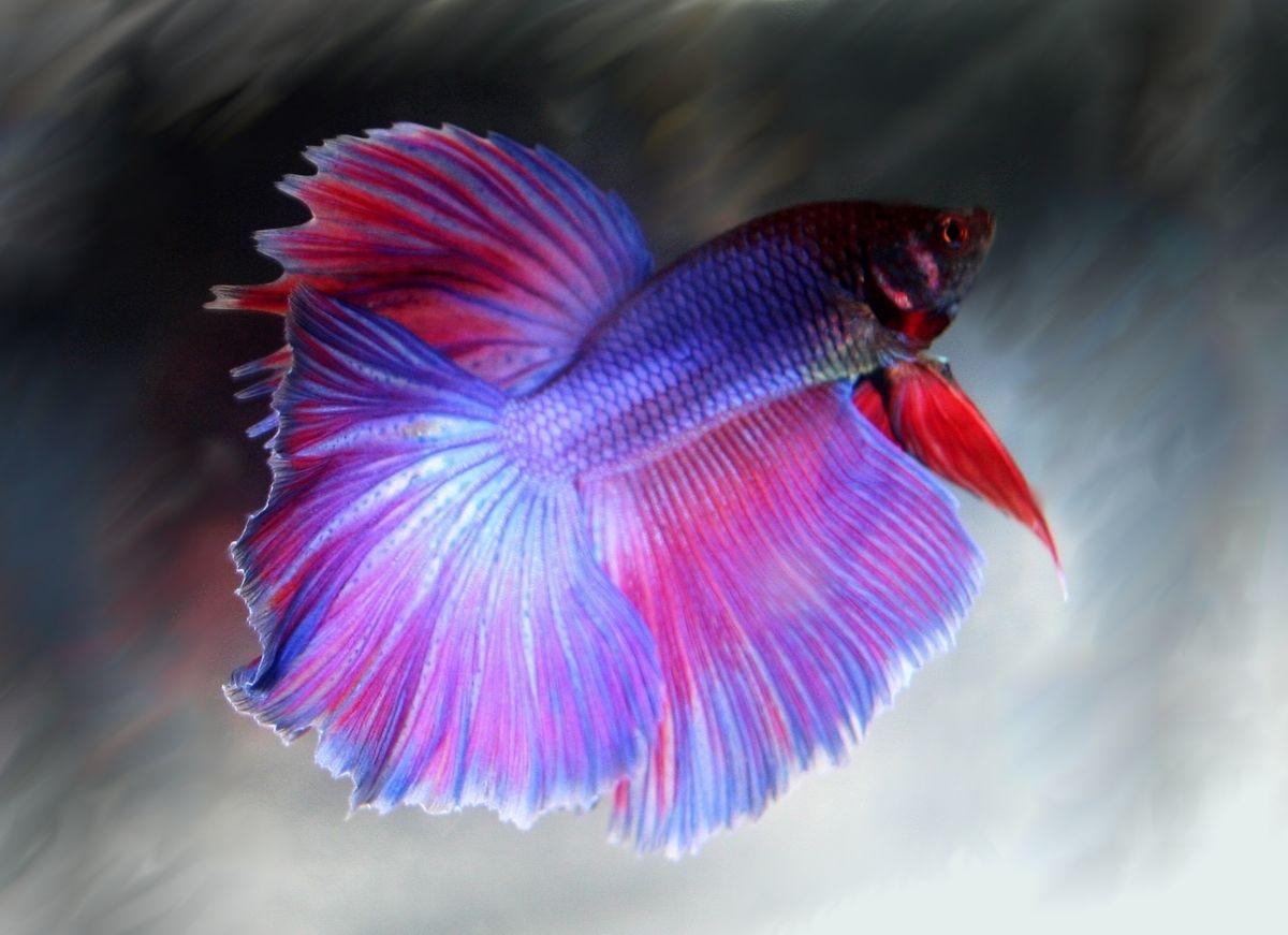 Betta Fish Facts | 20 Interesting Betta Fish Facts To Better Know Your Betta Betta