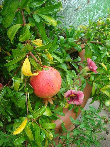 Arboretum pomegranate