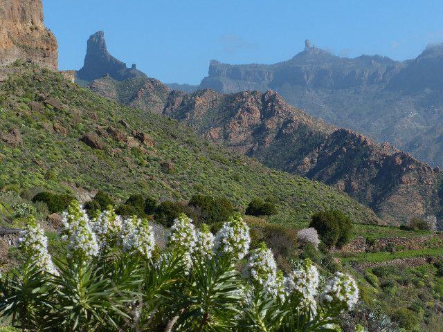 Echium flowers: Gran Canaria