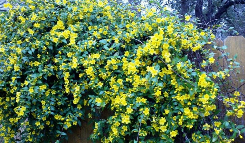 Early Spring In Austin Texas Yellow Flowering Shrub