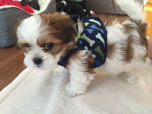 8 Week Old Shih Tzu Puppy Training Shih Tzu Puppy Shih Tzu