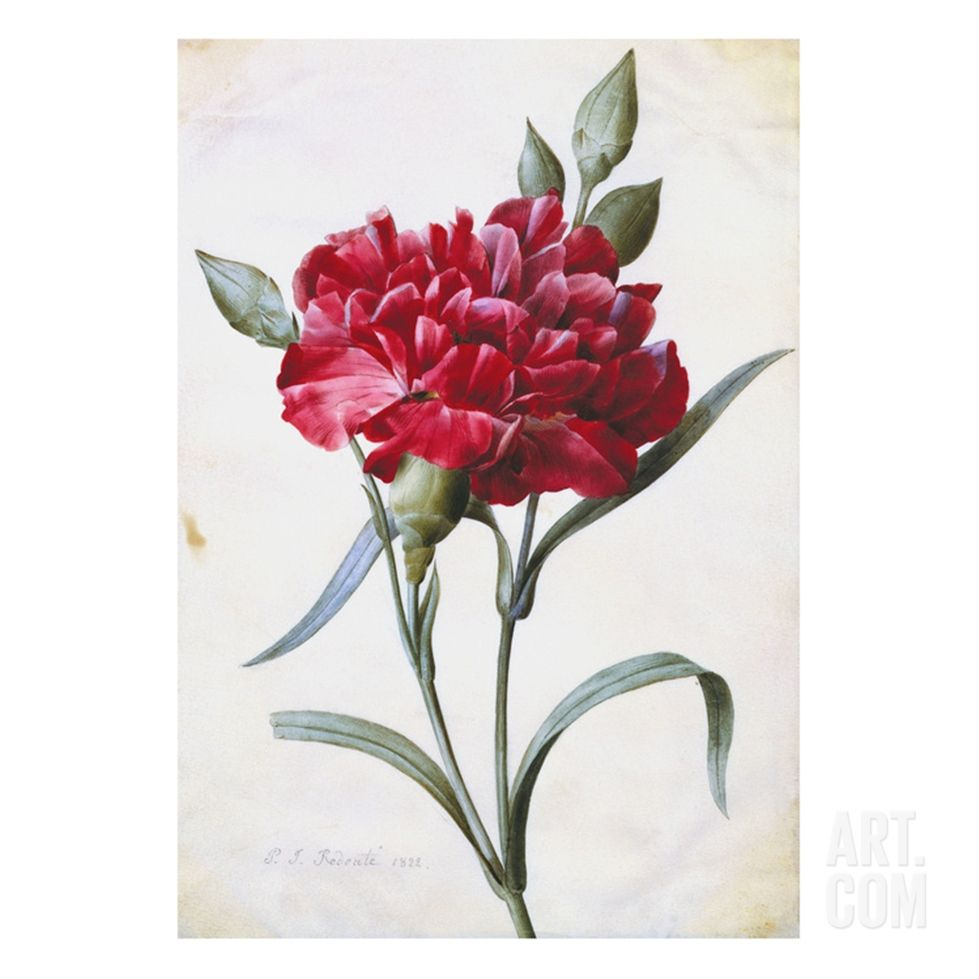 A Dark Red Carnation Art Print By Pierre Joseph Redoute Flower