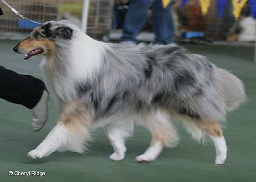 42+ Blue collies information