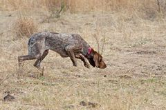 German Short Hair Pointer Dog Detecting Scent Download From Over 47 Million High Quality Stock Photos Images Vector Pointer Dog Dog Breeds German Shorthair