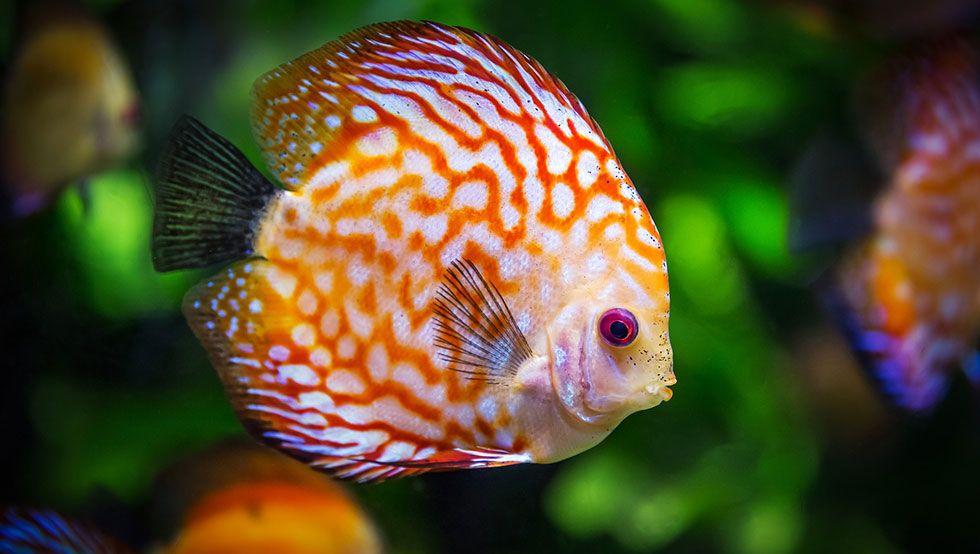 Vous Voulez Debuter En Aquariophilie Avec Un Petit Aquarium Ou Alors On Vous A Offert Un Poisson Rouge Dans Un Aqua Beau Poisson Petit Aquarium Poissons Discus