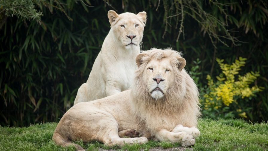 Beautiful White Lion Wallpaper Download Hd Collection Lion Wallpaper Animated Animals Lion Photography