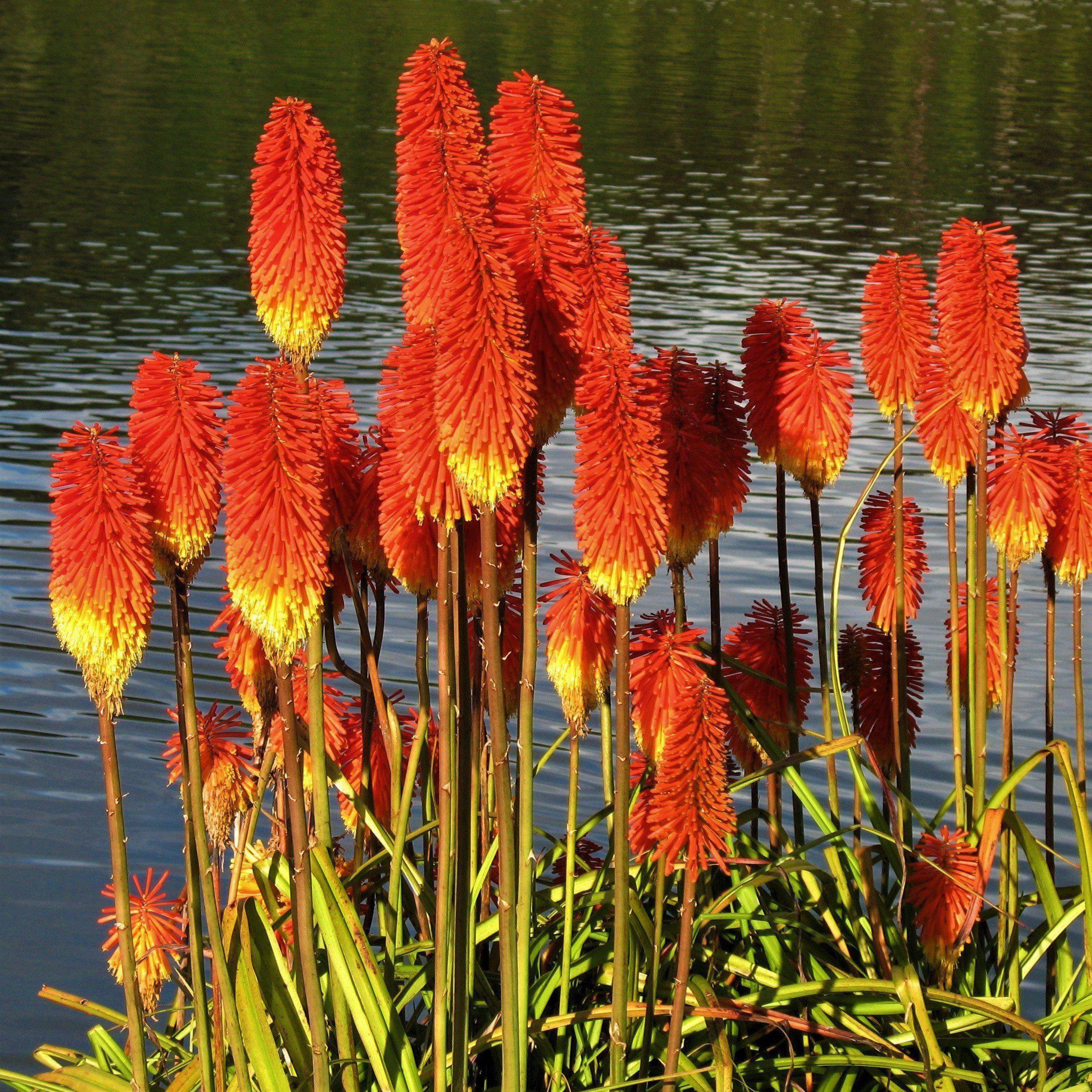 Allium Ampeloprasum Easy To Grow Bulbs Carlsbad Flower Fields Red Hot Poker Plant
