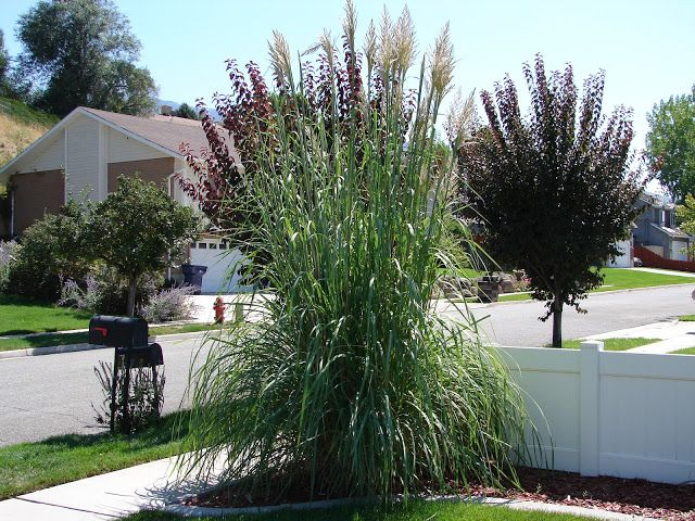 Ravenna grass saccharum ravennae is very hardy here in for Hardy tall ornamental grasses