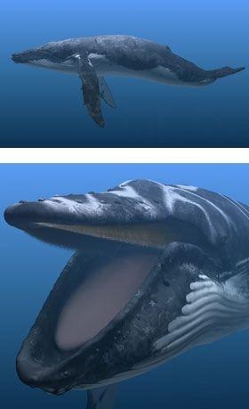 Sperm whales baleen